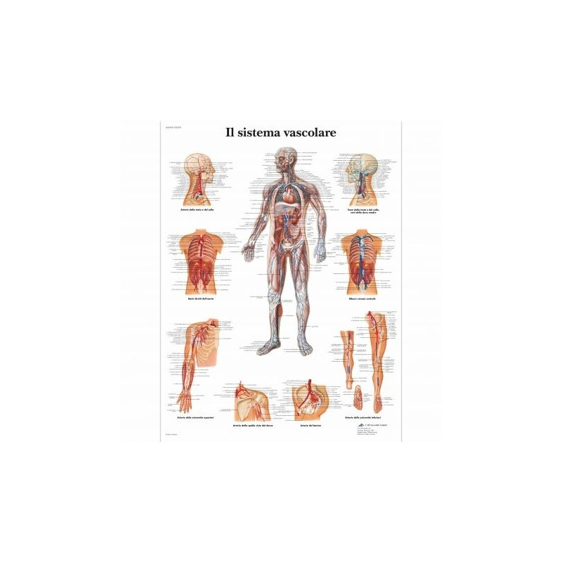 3B Scientific, tavola anatomica, Poster Il Sistema Vascolare cod. VR4353L