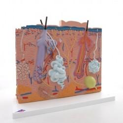 Modello anatomico di pelle in tre parti 3B MICROanatomy J16