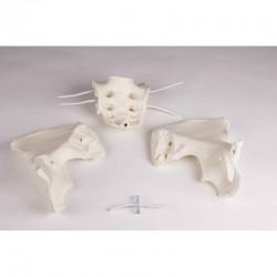Cranio umano di donna europea, modello classico scomponibile in 3 parti, Modello anatomico SOMSO QS7/6