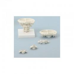 Cranio didattico scomponibile in 10 parti per dimostrazioni, Modello anatomico SOMSO QS8/11