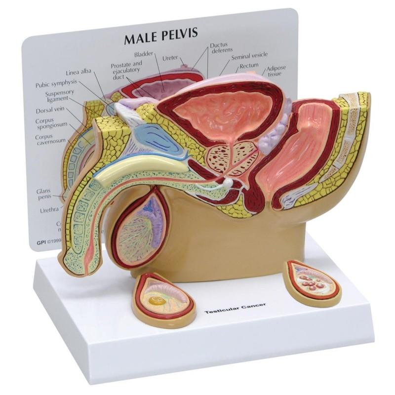 Modello anatomico di Pelvi maschile...