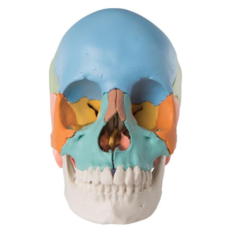 Cranio didattico colorato...