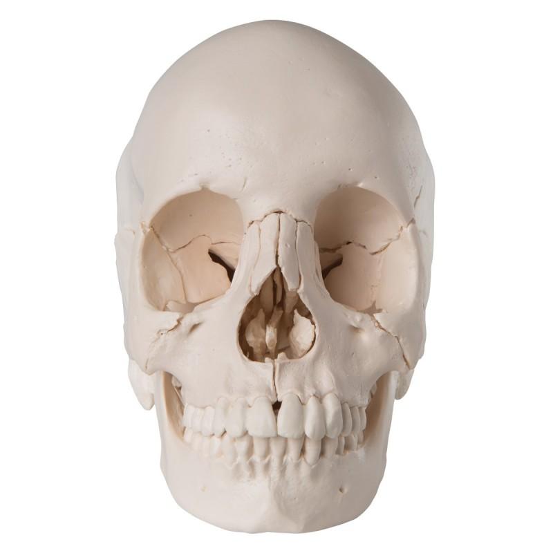 Cranio scomponibile in 22 parti...