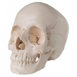 Cranio scomponibile in 22...