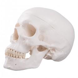 Cranio didattico...