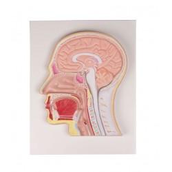 Erler Zimmer, sezione mediana della testa, C212