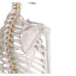 Erler Zimmer, modello di scheletro didattico Oscar, su cavalletto 2960
