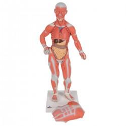 Modello di figura umana con muscoli, 1/3 in due parti - 3B Smart Anatomy