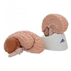 3B Scientific, cervello modello didattico di lusso, scomponibile in 8 parti C17