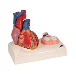 3B Scientific, modello anatomico di cuore, scomponibile in 5 parti, G01