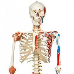 Scheletro Sam con legamenti articolari e inserzioni muscolari A13/1