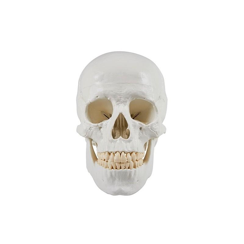 Erler Zimmer, Cranio, modello...
