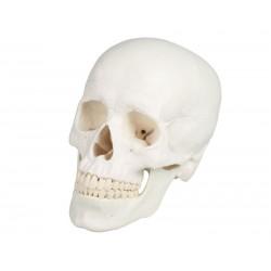 Erler Zimmer, Cranio,...