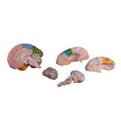 Erler Zimmer, modello anatomico funzionale di cervello, scomponibile in 5 parti C222