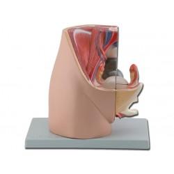 Modello di apparato genitale femminile, scomponibile in 2 parti. GM40100