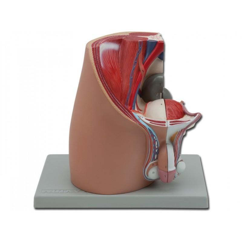 Modello di apparato genitale maschile, scomponibile in 4 parti. GM40105