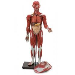 Modello di corpo umano intero con muscolatura in 30 parti. GM40019