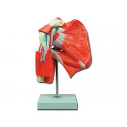Modello di muscolatura dell'articolazione della spalla GM40016