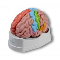 Erler Zimmer, modello funzionale e regioni dl cervello, in 5 parti C922