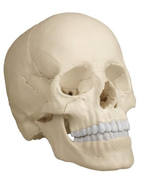 Erler Zimmer, modello di cranio bianco scomponibile in 22 parti 4701