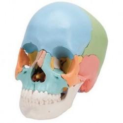 Cranio didattico colorato scomponibile in 22 parti per studiare anatomia del cranio 3B Scientific A291