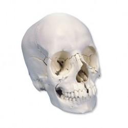 Cranio scomponibile in 22 parti bianco, modello anatomico 3B Scientific A290