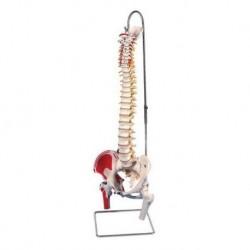 Colonna Vertebrale Flessibile dipinta, con tronchi dei femori e illustrazione dei muscoli, modello anatomico 3B Scientific A58/3