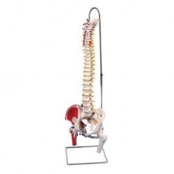 Erler Zimmer, modèle anatomique du crâne neurovasculaire avec le cerveau, décomposable en 8 parties