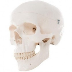 Cranio didattico scomponibile in 3 parti, modello anatomico 3B Scientific A20