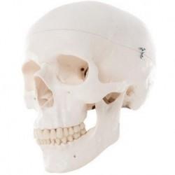 Erler Zimmer, o modelo anatômico da base do crânio com cérebro desmontado em sete ações