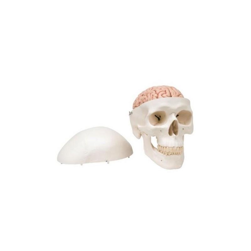 Cranio didattico scomponibile in 8 parti con cervello, modello anatomico 3B Scientific A20/9