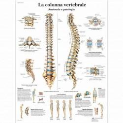 3B Scientific, tavola anatomica, La colonna vertebrale, anatomia e patologia (cod, VR4152UU)