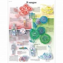Il sangue  - Poster anatomia umana 3B scientific (cod, VR4379UU)