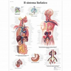 3B Scientific, tavola anatomica, Il sistema linfatico (cod, VR4392L)