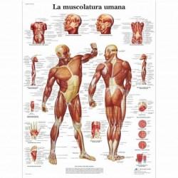 3B Scientific, tavola anatomica, La muscolatura umana (cod, VR4118L)