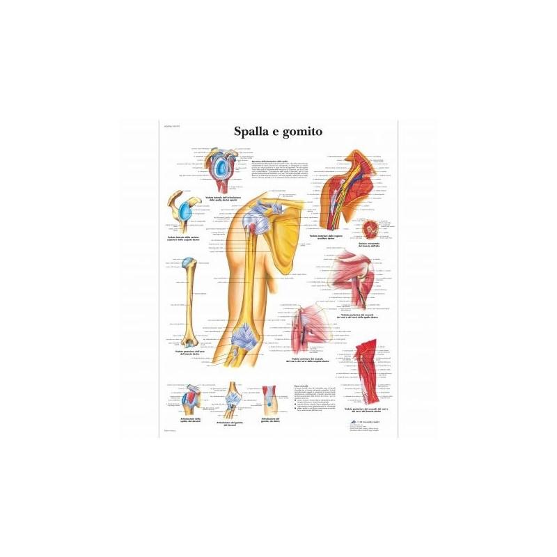 3B Scientific, tavola anatomica, Spalla e gomito (cod, VR4170UU)