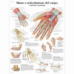 3B Scientific, tavola anatomica, Mano e articolazione del carpo (cod, VR4171L)