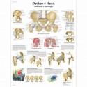 Erler Zimmer, modello di torso umano bisessuato con schienale aperto, scomponibile in 27 parti