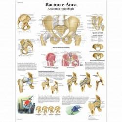 3B Scientific, tavola anatomica, Bacino e Anca - Anatomia e patologia (cod, VR4172L)
