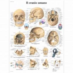 3B Scientific, tavola anatomica, Il cranio umano (cod, VR4131L)