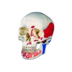 Cranio con mandibola aperta dipinto 3B Scientific A22/1