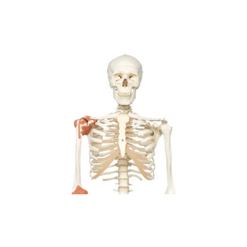 3B Scientific, Scheletro umano con legamenti articolari A12