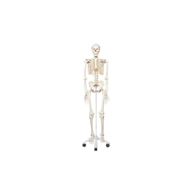 3B Scientific, modello anatomico, scheletro classico A10