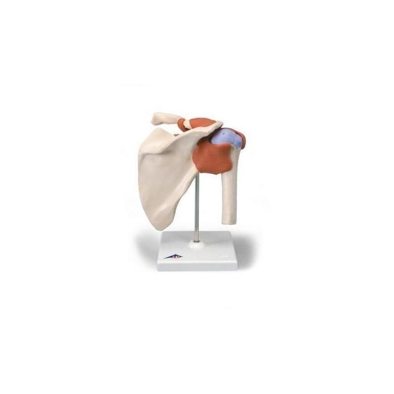 Erler Zimmer, collezione di modelli anatomici di vertebre, 24 pezzi