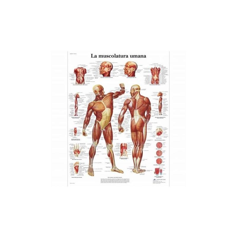 Erler Zimmer, modello anatomico di patologie del disco intervertebrale