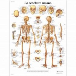 3B Scientific, tavola anatomica, Lo scheletro umano (cod, VR4113UU)