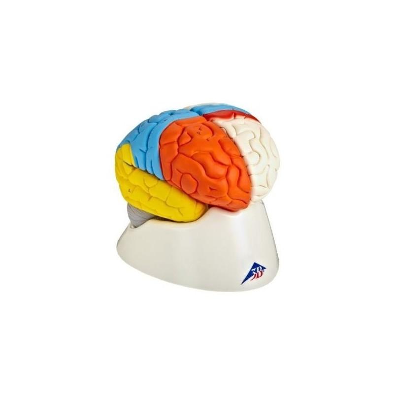 3B Scientific, modello funzionale di cervello umano, scomponibile in 8 parti, C22