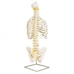Colonna vertebrale flessibile classica 3B Scientific, con cassa toracica A56