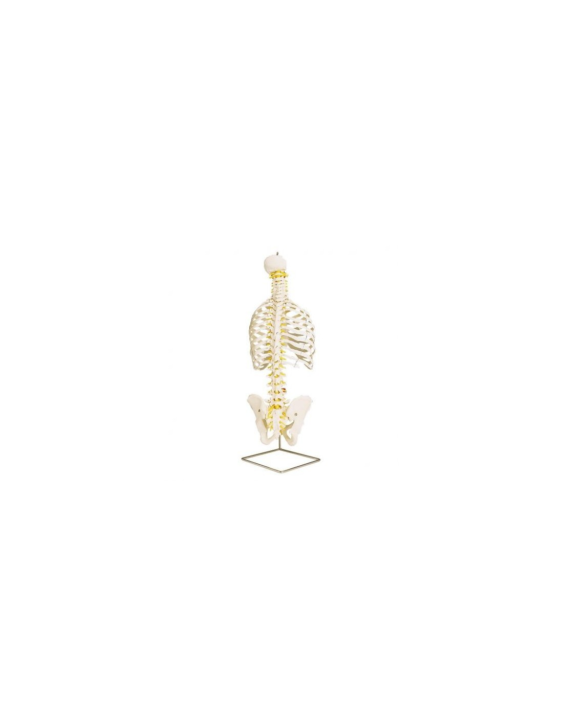 Anatomical Functional Arm And Arm Articulation