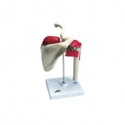 Erler Zimmer modelo anatómico de esqueleto del brazo